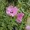 Thumbnail: Hibiscus Cisplatinus