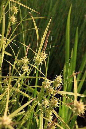 Carex glacilis