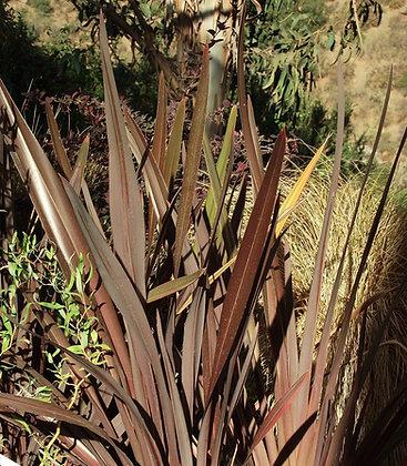 Pita Roja o Phornium Atropurpurea
