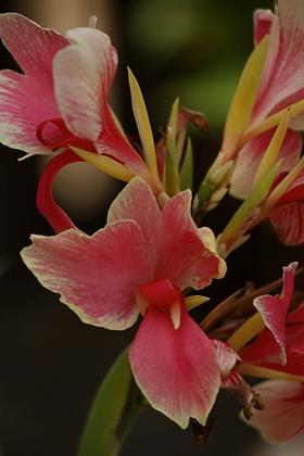 Canna indica  (Achira - variedades)