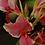 Thumbnail: Canna indica  (Achira - variedades)
