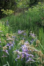 Iris Versicolor y Orientalis  (varios tamaños)