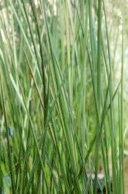 Baumea rubiginosa o Junco