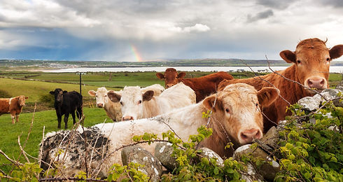 allevamento bovini piemonte