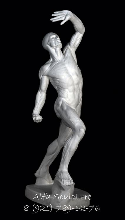 Анатомическое экорше 75см (гипсовая фигура)