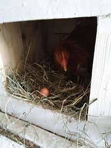 первое яйцо.jpg