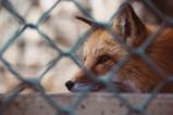 School faces backlash over Fox traps