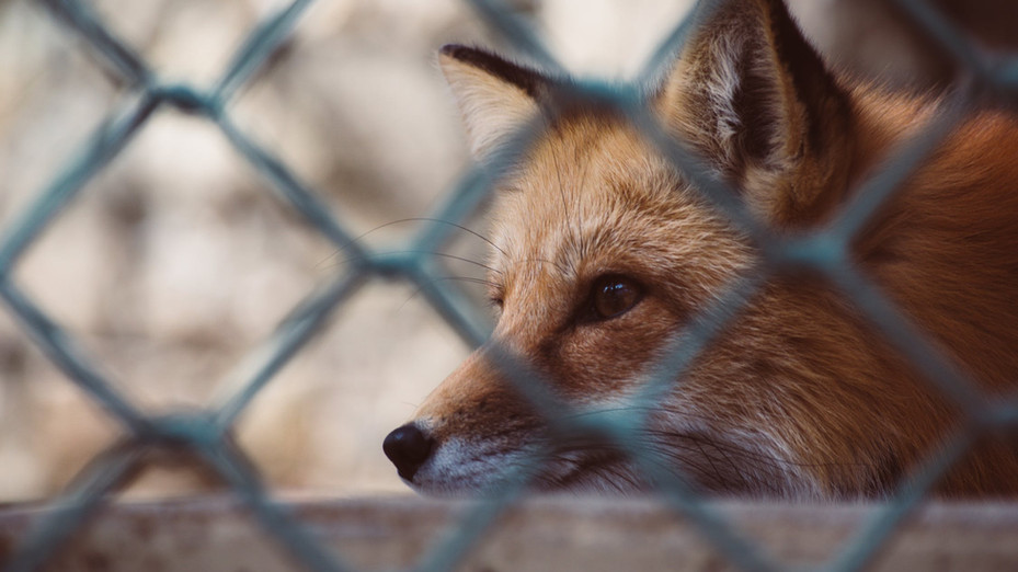 School faces backlash over Fox traps