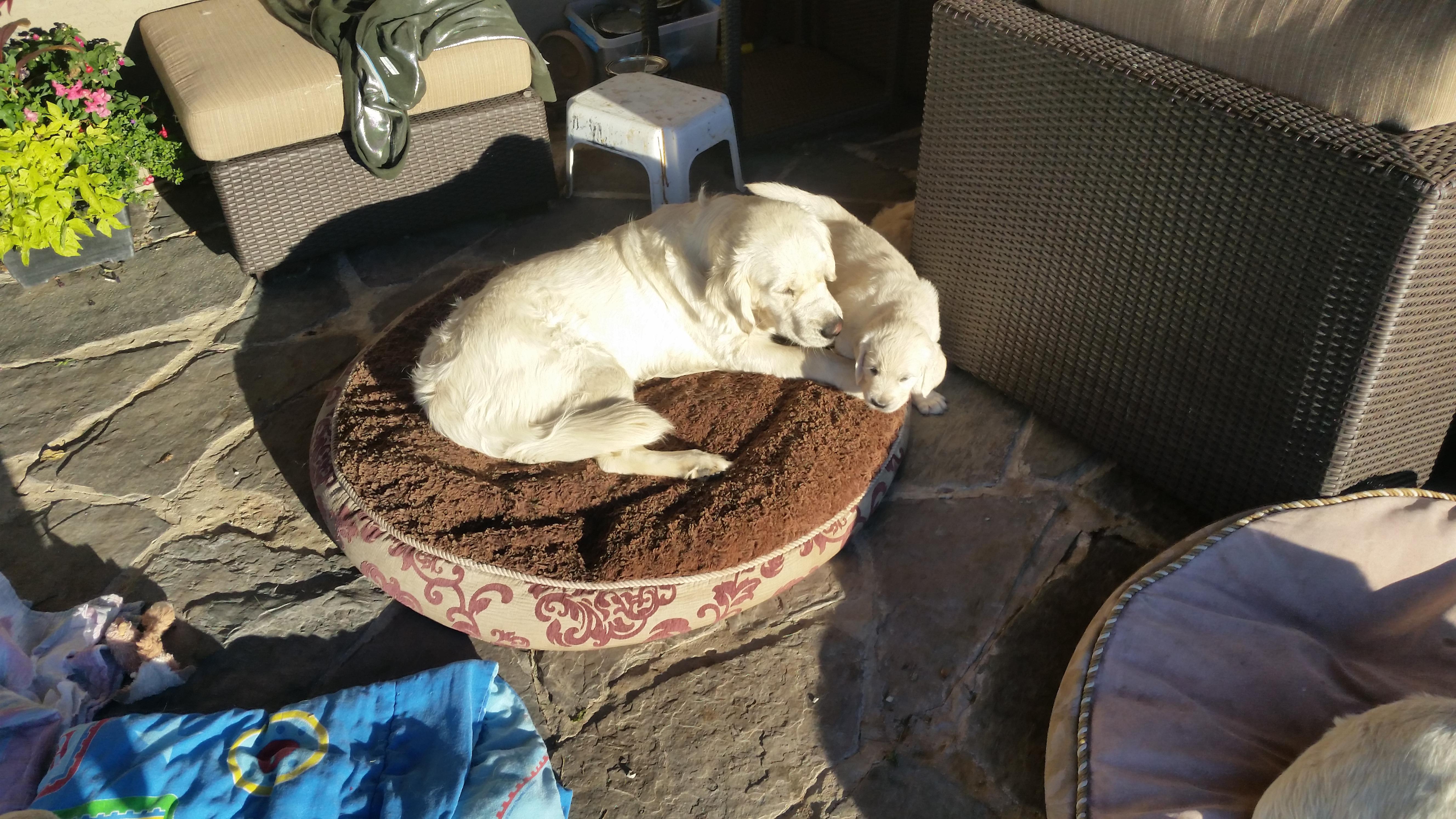 Deerfield Goldens: Golden Retriever Dog Breeder Alberta