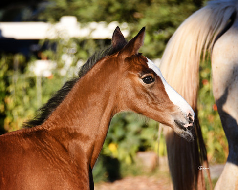 2020 Lord Adonis Filly