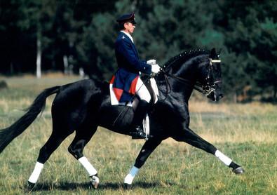 Escudo II Hanoverian Stallion