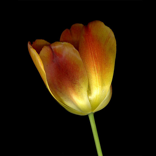 Jay Ruland - Orange Tulip 30x30