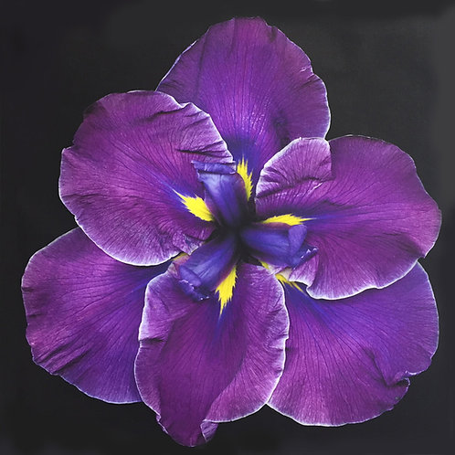 "Jay Ruland - Dark Purple Iris - 16x16"""