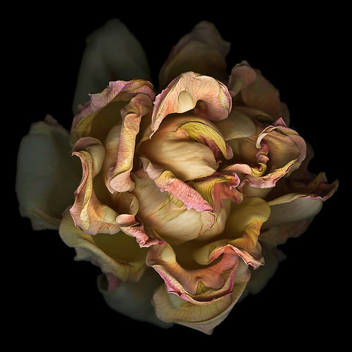 Jay Ruland - Rose 736 (printed on metal) 40x40""