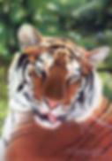 cat portraits tiger