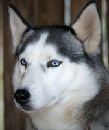 husky-dog-609553_1280 clear.jpg