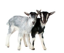 foto-goats.jpg