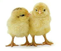 baby chicks two.jpeg