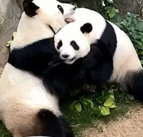 Pandas At Empty Zoo Under COVID-19 Shutdown Mated After 10 Years Together