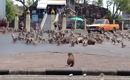 Thai Town Overrun By Monkeys Since There Are No Tourists To Feed Them