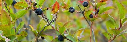 Huckleberries-e1515176258269.jpg