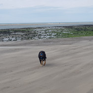 Dog walking at local beach