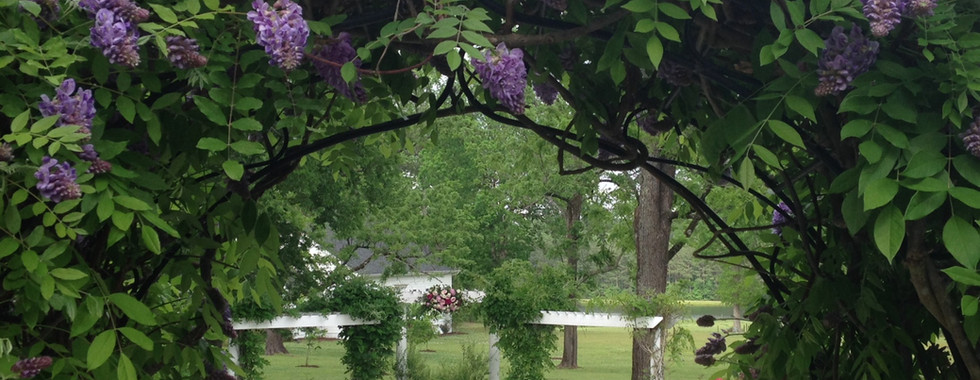 Wisteria on arch