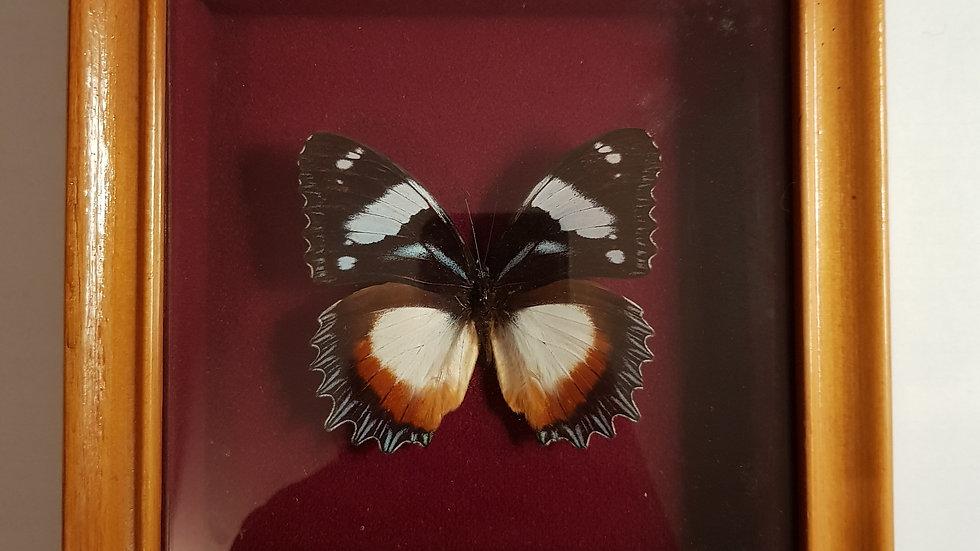 Papillon naturalisé Dexithea de Madagascar