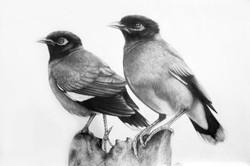 Common Myna Birds