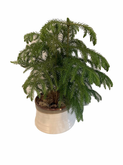 Potted Norfolk Pine