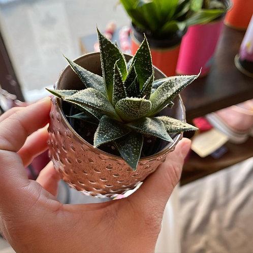 Haworthia Succulent in Ceramic Pot