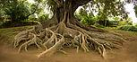 elevated-tree-roots-in-park-35UGJ8X.jpg