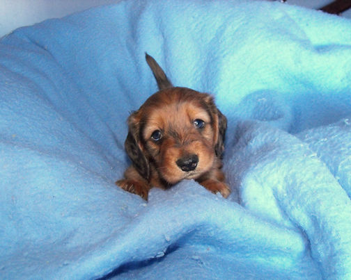 hasty lane farm mini dachshund puppies for sale