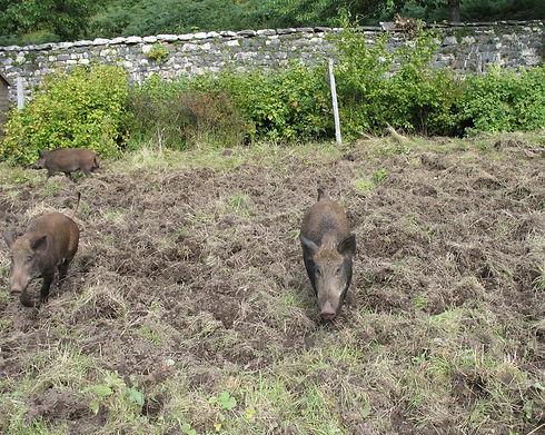 Assynt Foundation walled garden - pigs