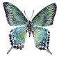 butterfly blue.png