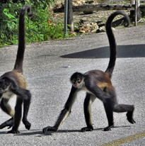 spider monkeys on the route de los cenot