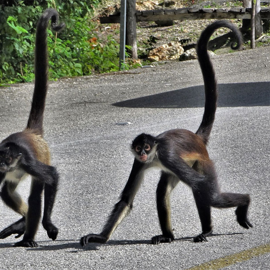 spider monkeys on the route de los cenot