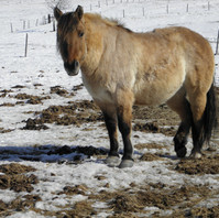 Fjord Horse, 14yr Old Gelding, Broke to drive single or double