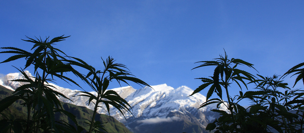 Himalayan Hemp - the Discovery