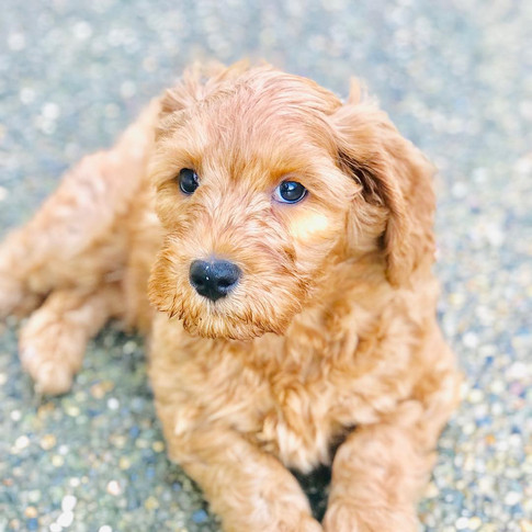 Labradoodle Puppies Sacramento, California