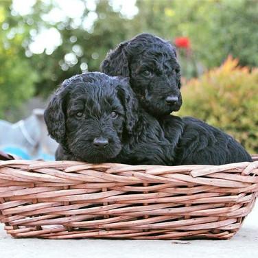 Labradoodle Puppies Sacramento, California