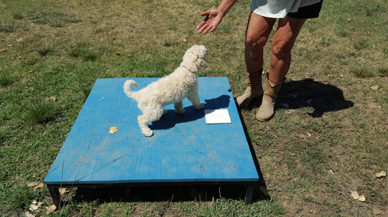Pre-Trained Labradoodle Puppies and Dogs