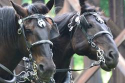 HF Horses