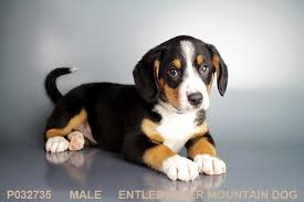 Entle pup3
