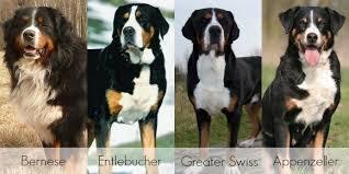Entle Swiss
