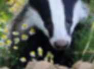 Badger in chamomile_edited_edited_edited