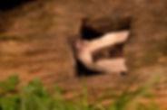 Badger in logedit.jpg