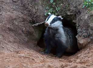Badger (Meles meles) wild, native badger emerging from the badger sett with muddy nose and