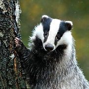 Badger in the forest, animal in nature h