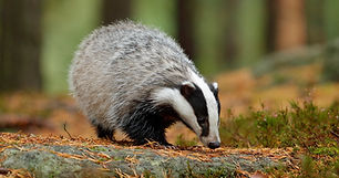 Badger in forest, animal in nature habit